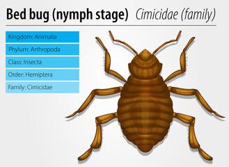 Cimicidae- Bedbug (juvenile)
