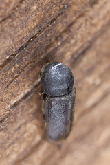 Ptilinus beetle on wood, extreme close-up