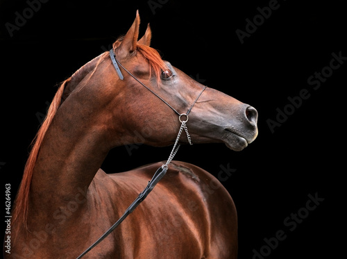 Bay arabian horse portrait with dark background