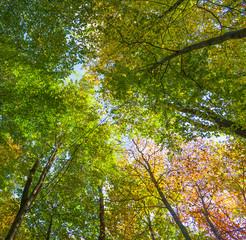 crown of oak trees in autumn