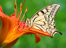 close up of butterfly Papilio Machaon sitting on lily