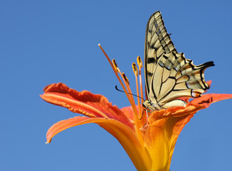 Papilio Machaon butterfly sitting on lily over blue sky