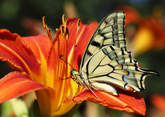 close up of Papilio Machaon butterfly on lily