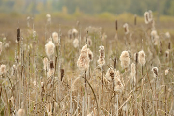 Dry Cattail (Typha Latifolia or Bulrush) Spikes with Fluff
