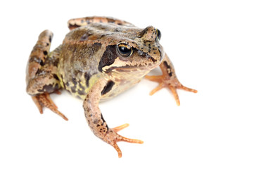 Brown Grass Frog Isolated on White Background