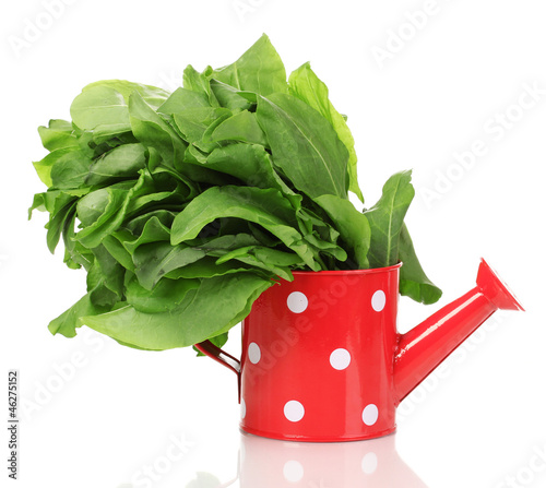 Fresh sorrel in red watering pot isolated on white