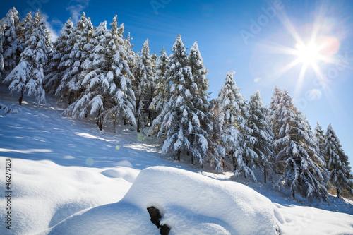 las sosnowy w śniegu