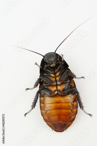 Madagascar Hissing Cockroach