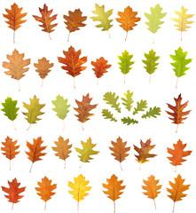 oak leaves on white