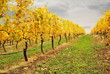 yellow leaves of the vineyard in autumn