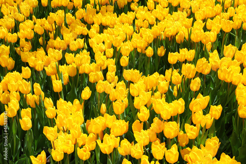 beautiful yellow tulip field in spring