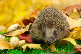 Fototapety Hedgehog on autumn leaves in forest