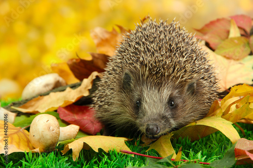 Poster Hedgehog on autumn leaves in forest