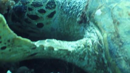 Hawksbill sea turtle feeding corals, Red Sea, Egypt.