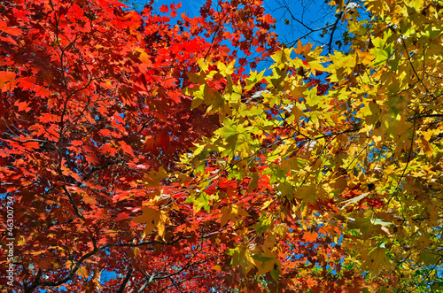 Autumn maples 17