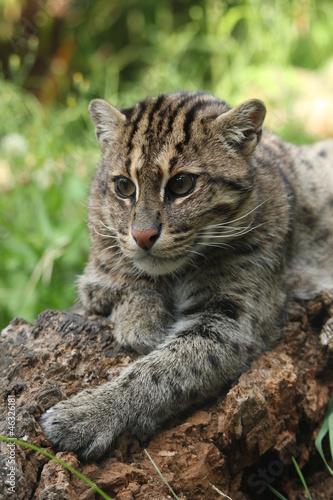 Chat pêcheur au repos sur branche