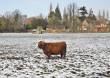 Longhorn Highland Cow standing in the snow