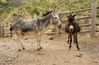 pair of donkeys waiting on dusty road