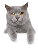 Fototapete Britisch british kurzhaar - Animals - Haustiere