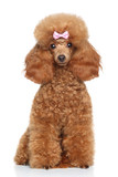 Fototapety Toy Poodle puppy on a white background