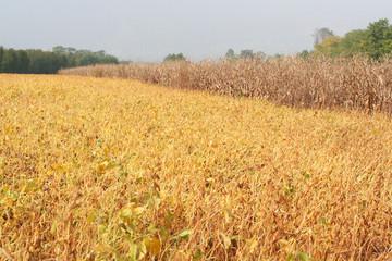 campo di soia_autunno
