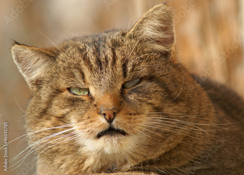 Angry face of a brown cat