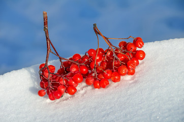 Bunch of rowan lies on snow