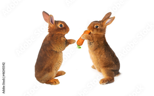 two brown rabbit