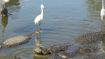 Egrets on alligators