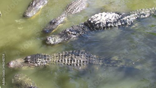 Alligators in captivity getting fed