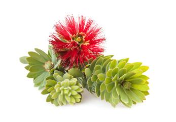 Callistemon flower, myrtle family shrub