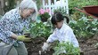 Asian grandmother teaching granddaughter to plant cucumbers in vegetable garden