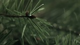 Rain drops falling onto pine bough (slow motion)