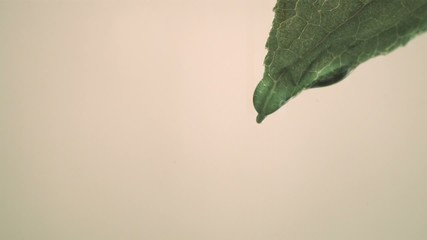 A single drop of water falling from leaf  (slow motion)