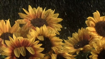 Water drops falling onto sunflowers (slow motion)