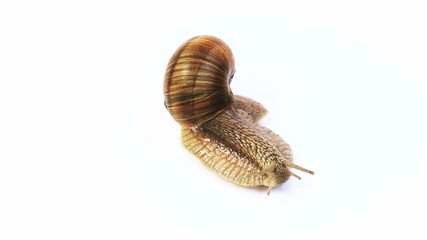 brown snail crawls on a white background