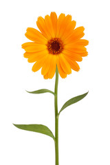 Orange daisy with long stem