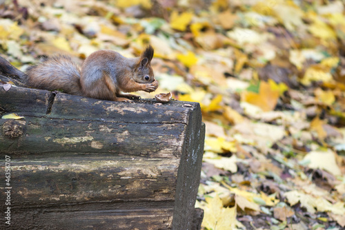 Eurasian red squirrel (Sciurus Vulgaris) eating walnut on stump