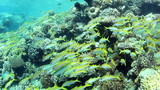 Huge shoal of Yellowfin Goatfish, swimming around a coral reef. poster
