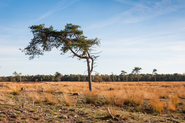 Solitary Scots Pine in autumn