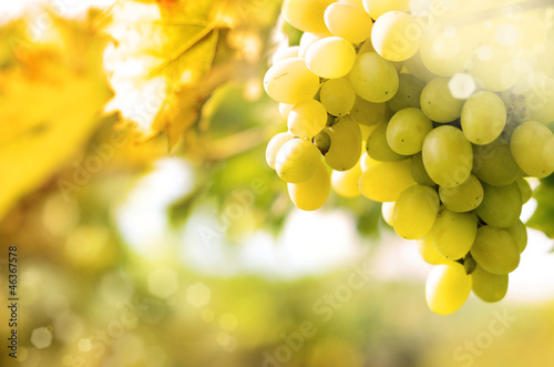 Green grapes on vine