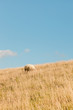 Lonely sheep grazing in field of grass. Dike. Blue cloudy sky.