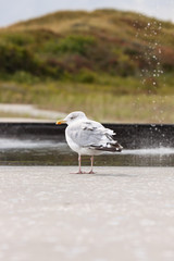 Seagull near fountain. Blurred dunes in background.