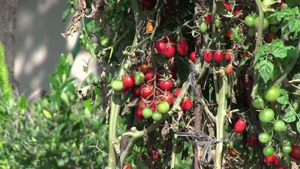 tomates cherri