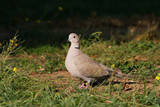 collared dove on the ground / Streptopelia decaocto