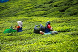Woman picking tea leaves in a tea plantation, Munnar, India