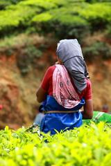 Woman picking tea leaves in a tea plantation, Munnar, India