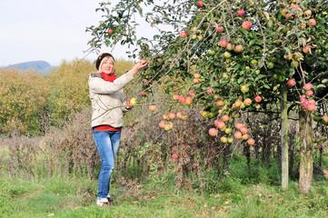 Äpfel pflücken auf der Streuobstwiese
