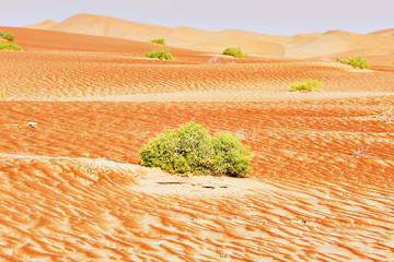 A view of a green bushes on sand dunes of the Arabian desert