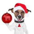 santa dog with  christmas ball on paw